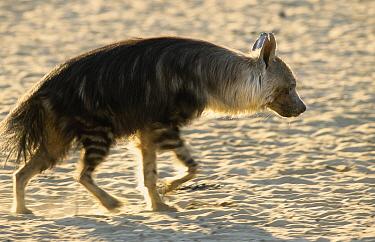 Striped Hyena (Hyaena hyaena), Kgalagadi Transfrontier Park, South Africa  -  Franck Fouquet/ Biosphoto