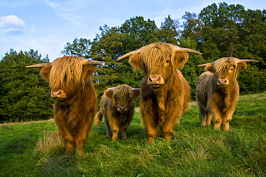 Highland Cattle (Bos taurus) in meadow, Vosges du Nord National Park, France  -  Klein and Hubert