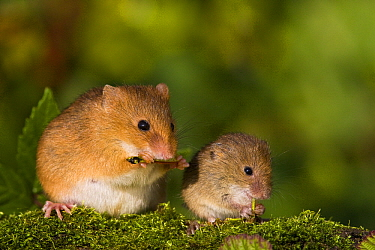 Harvest Mouse (Micromys minutus) pregnant female and young eating cricket, France  -  Klein and Hubert