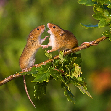 Harvest Mouse (Micromys minutus) male approaching female, France  -  Klein and Hubert