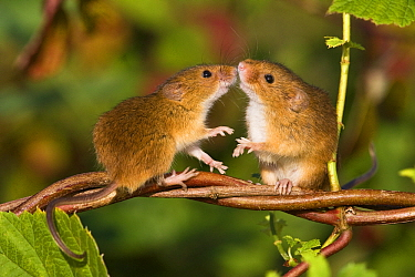 Harvest Mouse (Micromys minutus) pair, France  -  Klein and Hubert