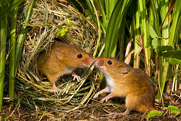 Harvest Mouse (Micromys minutus) male approaching female in her nest, France  -  Klein and Hubert