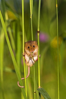 Harvest Mouse (Micromys minutus) on grass, France  -  Klein and Hubert