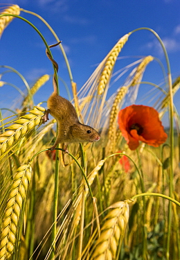 Harvest Mouse (Micromys minutus) along Red Poppy (Papaver rhoeas) stem, Francewhea  -  Klein and Hubert