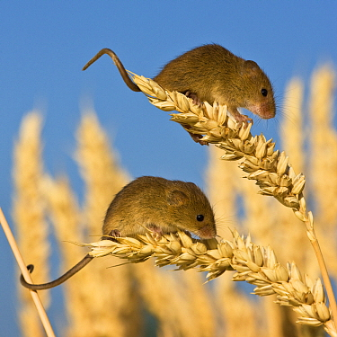 Harvest Mouse (Micromys minutus) juveniles on wheat, France  -  Klein and Hubert