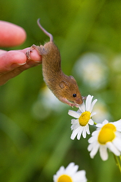 Harvest Mouse (Micromys minutus) on chamomile, France  -  Klein and Hubert