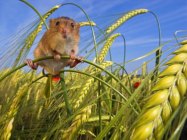 Harvest Mouse (Micromys minutus) in field of barley, France  -  Klein and Hubert