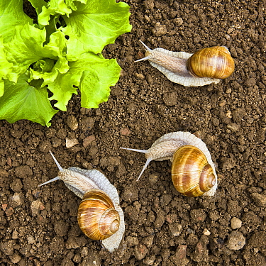 Edible Snail (Helix pomatia) trio near lettuce, France  -  Klein and Hubert