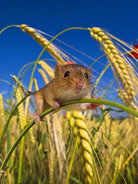 Harvest Mouse (Micromys minutus) in Two-rowed Barley (Hordeum vulgare) field, France  -  Klein and Hubert