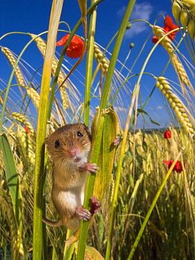 Harvest Mouse (Micromys minutus) on Two-rowed Barley (Hordeum vulgare) stem, France  -  Klein and Hubert