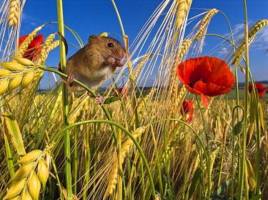 Harvest Mouse (Micromys minutus) in Two-rowed Barley (Hordeum vulgare), France  -  Klein and Hubert