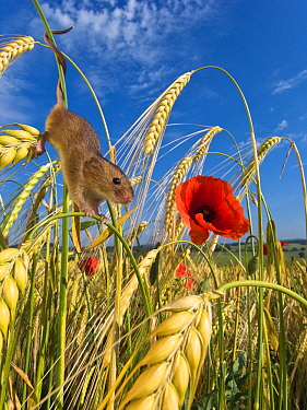 Harvest Mouse (Micromys minutus) climbing in Two-rowed Barley (Hordeum vulgare), France  -  Klein and Hubert