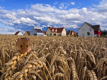 Harvest Mouse (Micromys minutus) in field of wheat near subdivision, France  -  Klein and Hubert