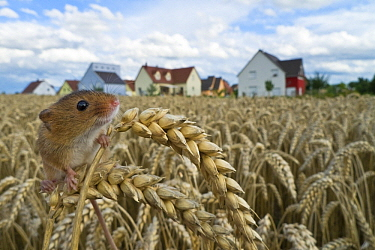Harvest Mouse (Micromys minutus) in field of wheat before subdivision, France  -  Klein and Hubert