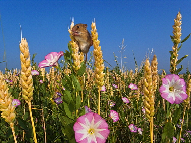 Harvest Mouse (Micromys minutus) climbing in Common Wheat (Triticum aestivum) crop, France  -  Klein and Hubert