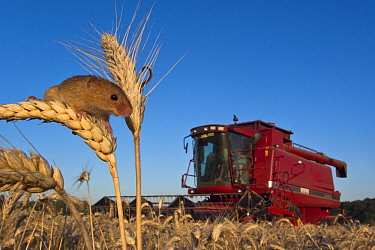 Harvest Mouse (Micromys minutus) on head of Common Wheat (Triticum aestivum) with combine in the background, France  -  Klein and Hubert