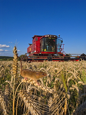 Harvest Mouse (Micromys minutus) climbing in Common Wheat (Triticum aestivum) with a combine in the background, France  -  Klein and Hubert
