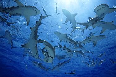 Lemon Shark (Negaprion brevirostris) school, Bahamas, Caribbean  -  Yann Hubert/ Biosphoto