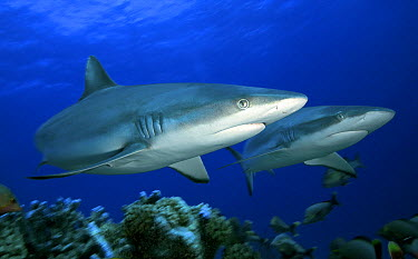 Grey Reef Shark (Carcharhinus amblyrhynchos) swimming above reef, Tuamotu Islands, French Polynesia  -  Yann Hubert/ Biosphoto