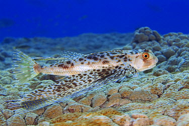 Oriental Flying Gurnard (Dactyloptena orientalis) over reef, Tuamotu Islands, French Polynesia  -  Yann Hubert/ Biosphoto