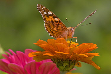 Painted Lady (Vanessa cardui) butterfly feeding on nectar from a Zinnia (Zinnia sp) flower in summer, France  -  Andre Simon/ Biosphoto