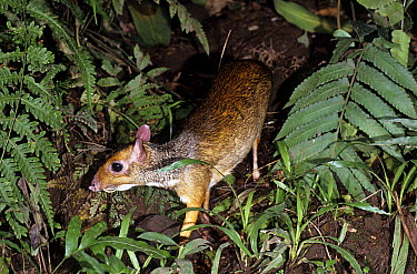 Lesser Malay Mouse Deer (Tragulus javanicus), Java, Indonesia  -  Alain Compost/ Biosphoto