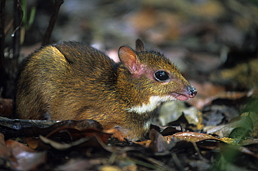 Lesser Malay Mouse Deer (Tragulus javanicus), Java, Indonesia  -  Klein and Hubert