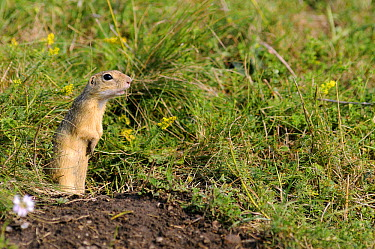 European Ground Squirrel (Spermophilus citellus) standing near burrow, Serbia  -  Gregory Mairet/ Biosphoto