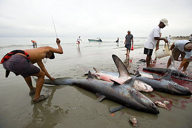 Sharks (Carcharhinidae) being butchered by fishermen on beach, Manabi, Ecuador  -  Bruno Pambour/ Biosphoto