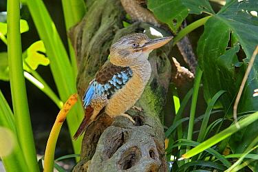 Blue-winged Kookaburra (Dacelo leachii) female, Australia  -  Sylvain Cordier/ Biosphoto