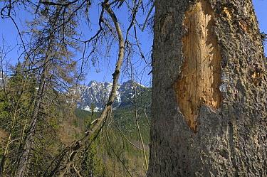 Engraver Beetle (Ips typographus) damage to Spruce (Picea sp), Hrebienok, Slovakia  -  Jean-Luc & Francoise Ziegler/ Bi