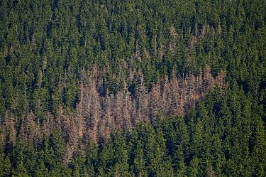 Engraver Beetle (Ips typographus) damage to Spruce (Picea sp) forest, Tatranska Lomnica, Slovakia  -  Jean-Luc & Francoise Ziegler/ Bi