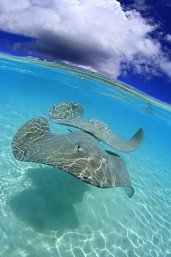 Pink Whip Ray (Himantura fai) pair in lagoon, Tahaa, French Polynesia  -  Fabien Michenet/ Biosphoto
