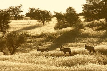South African Gemsbok (Oryx gazella gazella) trio on savannah, Kgalagadi Transfrontier Park, South Africa  -  Jean-Jacques Alcalay/ Biosphoto
