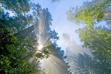 Coast Redwood (Sequoia sempervirens) with sun rays, Redwood National Park, California  -  Jean-Philippe Delobelle/ Biospho