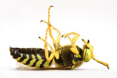 Sand Wasp (Bembix sp) feigning death  -  Michel Gunther/ Biosphoto