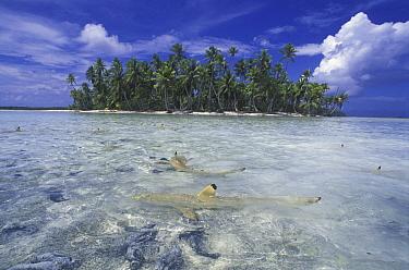 Black-tip Reef Shark (Carcharhinus melanopterus), Rangiroa Atoll, French Polynesia  -  Yves Lefevre/ Biosphoto