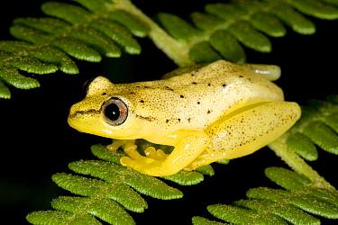 Reed Frog (Heterixalus sp), Andasibe, Madagascar  -  Nicolas Cegalerba/ Biosphoto