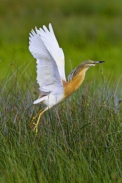 Squacco Heron (Ardeola ralloides) taking flight, Camargue, France  -  Klein and Hubert