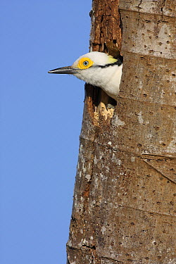 White Woodpecker (Melanerpes candidus) emerging from nest cavity, Brazil  -  Jean Mayet/ Biosphoto