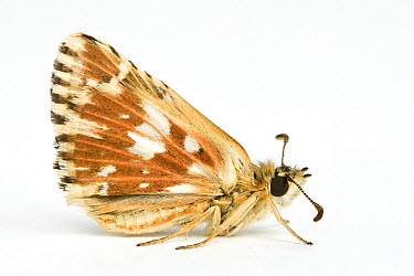 Red Underwing Skipper (Spialia sertorius) butterfly  -  Michel Gunther/ Biosphoto