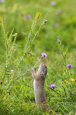 European Ground Squirrel (Spermophilus citellus) eating thistle flower, Serbia  -  Gregory Mairet/ Biosphoto
