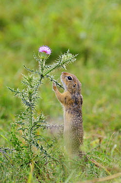European Ground Squirrel (Spermophilus citellus) reaching for thistle flower, Serbia  -  Gregory Mairet/ Biosphoto