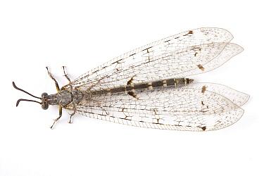 Antlion (Palpares libelluloides)  -  Michel Gunther/ Biosphoto