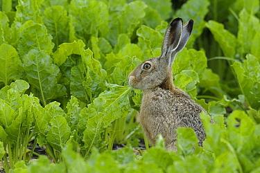 European Hare (Lepus europaeus) feeding in field of Sugar Beets (Beta vulgaris), Germany  -  Michael Breuer/ Biosphoto