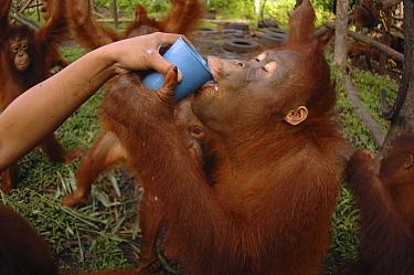 Orangutan (Pongo pygmaeus) receiving milk, Nyaru Menteng Care Centre, Borneo, Indonesia  -  Alain Compost/ Biosphoto