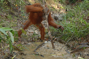 Orangutan (Pongo pygmaeus) using stick to catch fish in puddle during dry season, Nyaru Menteng Care Centre, Borneo, Malaysia  -  Alain Compost/ Biosphoto