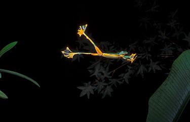 Reinwardt's Flying Frog (Rhacophorus reinwardtii) gliding toward banana leaf at night, Bogor, West Java  -  Alain Compost/ Biosphoto
