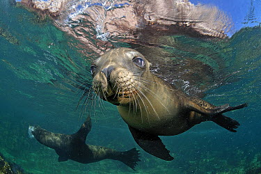 California Sea Lion (Zalophus californianus) juvenile, Los Islotes, Sea of Cortez, Mexico  -  Bruno Guenard/ Biosphoto