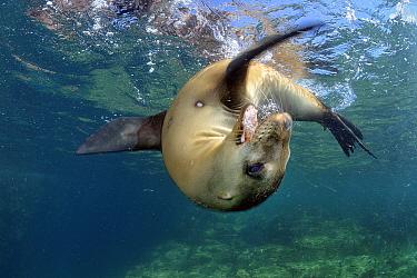 California Sea Lion (Zalophus californianus) juvenile playing, Los Islotes, Sea of Cortez, Mexico  -  Bruno Guenard/ Biosphoto